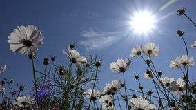 White flowers of cosmos as the sun and blue sky background stock footage