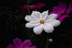 White flowers cosmos royalty free stock photos