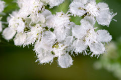 White flowers are covered with hoarfrost Royalty Free Stock Images