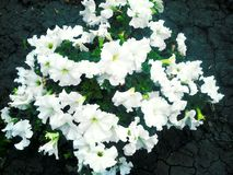 White flowers on cracked ground Royalty Free Stock Photo