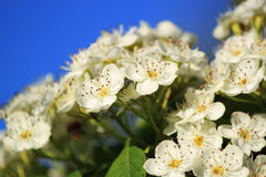 White flowers Crataegus monogyna. Hawthorn Crataegus monogyna, known as common hawthorn, single-seeded hawthorn, may, mayblossom, maythorn, quickthorn Stock Image