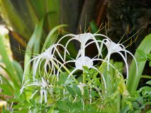 The white flowers of a Crinum Stock Images
