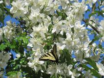 White flowers and cute attractive tiger swallowtail butterfly, Vancouver, 2018. Cute lovely tiger swallowtail butterfly on white flowers, Jericho beach, Canada royalty free stock images