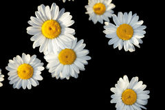 White flowers of daisies on a black background Royalty Free Stock Photos
