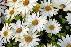 White flowers and daisies from the florist Stock Photo