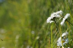 White flowers, Daisy, Bellis Perennis in grass - background Royalty Free Stock Photo