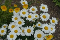 White flowers of daisy in the garden. In summer Royalty Free Stock Photos