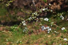 Thunberg spirea. White flowers decorate the Soring `Thunberg spirea Royalty Free Stock Photos