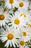 White flowers of decorative chamomiles growing Royalty Free Stock Photography