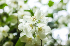 White flowers with dew drops Stock Photo
