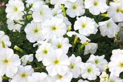 White flowers in Dubai miracle garden. DUBAI UAE - NOVEMBER 2017 : Dubai miracle garden with over 45 million flowers in a sunny day on November 24 2015 United Stock Photography