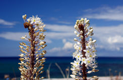 White Flowers - Eremurus Royalty Free Stock Photos