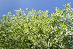 White flowers of European bird cherry tree in Stock Images