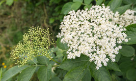 White flowers of an European black Elderberry Stock Photos