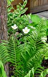 White Flowers and Fern Fronds Stock Images