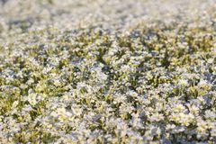 White flowers field Royalty Free Stock Image