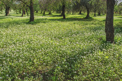 White flowers field. A bunch of white flowers on green grass together with many olive trees royalty free stock images