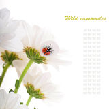 White flowers, field camomiles Royalty Free Stock Photography
