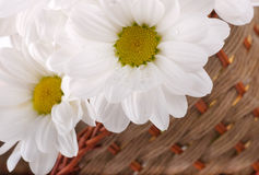 White flowers, field camomiles in a basket Stock Photography