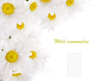 White flowers, field camomiles with green leaves Stock Image