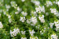 White flowers field and green leaves in the garden, Royalty Free Stock Images