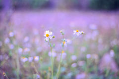 White flowers in a field of purple. White flowers in a field of purple for background Stock Photography