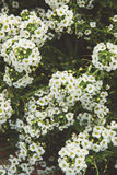 White flowers in film style. White flowers texture in film style Stock Photography