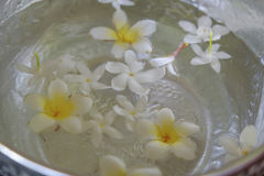White flowers float in the bowl, Songkran Day, festival of Thailand royalty free stock photography
