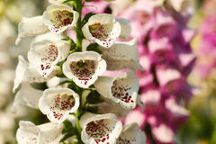 White flowers in the flower festival Royalty Free Stock Images