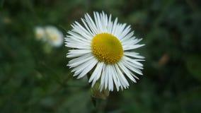 White  flowers. White,  flower, morning, sky, grass, garden Royalty Free Stock Photos