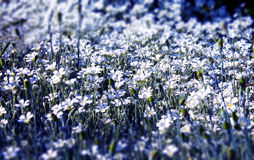 White flowers. Flowerbed with small white flowers Royalty Free Stock Photography