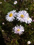 White flowers. Flowering plant in autumn Stock Photography