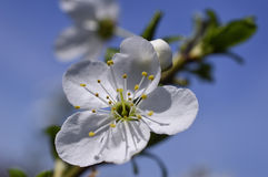 White flowers on flowering tree Stock Photos
