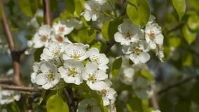 White flowers on a flowering tree.  stock footage