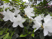 White flowers, flowers. Blooming tree in the spring. White flowers, azaleas white, camellias. Spring, flowers. Spring flowering, Stock Photos