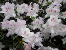 White flowers, flowers. Blooming tree in the spring. White flowers, azaleas white, camellias. Spring, flowers. Spring flowering, Stock Photo