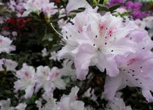 White flowers, flowers. Blooming tree in the spring. White flowers, azaleas white, camellias. Spring, flowers. Spring flowering, Stock Image