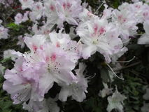 White flowers, flowers. Blooming tree in the spring. White flowers, azaleas white, camellias. Spring, flowers. Spring flowering, Royalty Free Stock Images