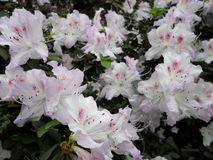 White flowers, flowers. Blooming tree in the spring. White flowers, azaleas white, camellias. Spring, flowers. Spring flowering, Royalty Free Stock Photography
