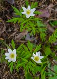 White flowers of forest anemone in the early spring in the forest stock images