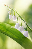 White flowers of a forest lily of the valley Stock Photography