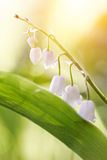 The white flowers of a forest lily of the valley Stock Photos