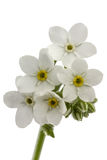 White flowers of Forget-me-not (Myosotis arvensis), isolated on Stock Image