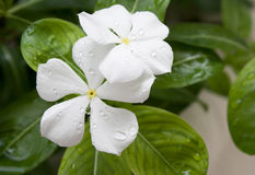 White flowers with fresh water dew Stock Photos