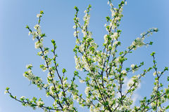 White flowers of freshness blossom tree on a sky backgrounds Royalty Free Stock Photography