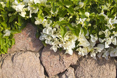 White flowers  in front of stone wall. White flowers bougainvillea in front of stone wall Stock Photos