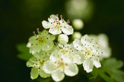 White flowers of a fruit tree Royalty Free Stock Photography