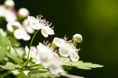 White flowers of a fruit tree Royalty Free Stock Images