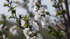 White flowers on fruit trees. Blooming gardens, bees collect nectar from a blooming Apple tree. Sakura, a cherry tree, the cherry