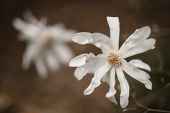 White flowers in full Spring bloom Royalty Free Stock Photos